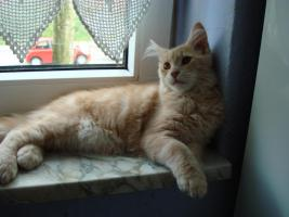 Foto 2 ♥ ♥ ♥ Maine Coon Katerchen ♥ ♥ ♥ 5 monate alt (o.p)