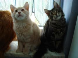 Foto 3 ♥ ♥ ♥ Maine Coon Katerchen ♥ ♥ ♥ 5 monate alt (o.p)