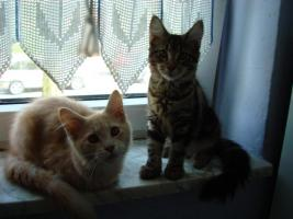 Foto 5 ♥ ♥ ♥ Maine Coon Katerchen ♥ ♥ ♥ 5 monate alt (o.p)