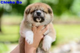 Foto 2 AKITA INU PUPPIES FOR SALE!!!