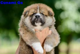 Foto 3 AKITA INU PUPPIES FOR SALE!!!