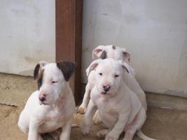 ARGENTIN DOG-STAFFI HUNDE ZU VERKAUFEN IN UNGARN