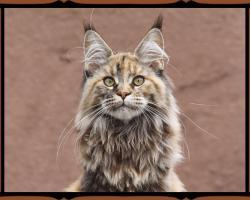 Abzugeben Maine Coon Kittens fon AmericanBeauty's stammbaum