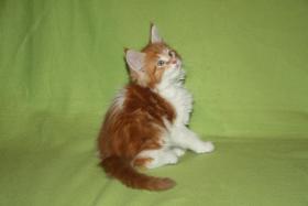 Foto 2 Abzugeben Maine Coon Kittens fon AmericanBeauty's stammbaum
