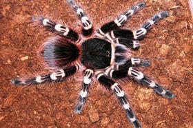 Acanthoscurria geniculata Weißknie-Vogelspinnen Spiderling