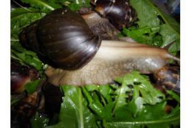 Foto 2 Achatschnecken Achatina Fulica