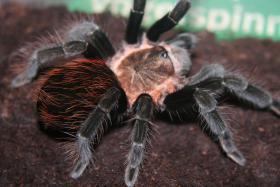 ''Achtung'' Mega Angebot Vogelspinnen zum verkauf