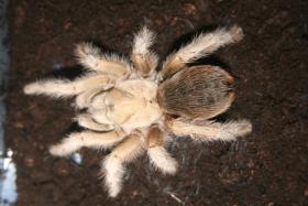 Foto 2 ''Achtung'' Mega Angebot Vogelspinnen zum verkauf