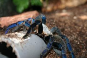 Foto 3 ''Achtung'' Mega Angebot Vogelspinnen zum verkauf