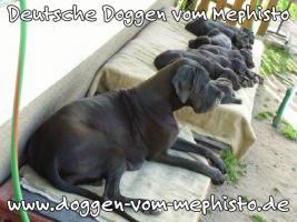 Foto 8 Achtung ! Die Mephistos erwarten am 25.April 2015 TOP-Welpen !