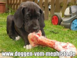 Foto 17 Achtung ! Die Mephistos erwarten am 25.April 2015 TOP-Welpen !
