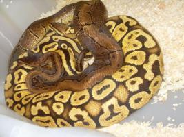 Foto 5 Adulte K�nigspython Farbformen abzugeben