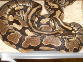 Foto 7 Adulte K�nigspython Farbformen abzugeben