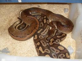 Foto 9 Adulte K�nigspython Farbformen abzugeben