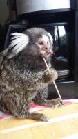 Affen Weissbüschelaffen Krallenaffen