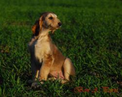 Afghanische Windhund Welpen Rüden