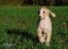 Foto 3 Afghanische Windhund Welpen Rüden