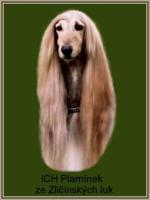Foto 4 Afghanischer Windhund Welpen mit Papiere
