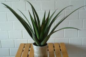 Agave ca 90cm