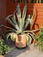 Agave/ Aloe Vera H: 1,40m B: 1,20-1,30 m MIT TOPF
