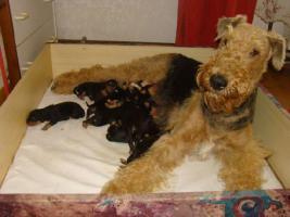 Airedale Terrier TOP Welpen mit Papiere