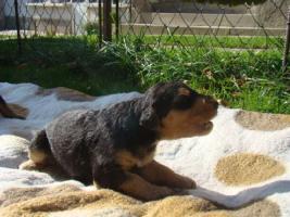 Foto 2 Airedale Terrier TOP Welpen mit Papiere