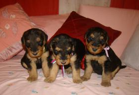 Foto 3 Airedale Terrier TOP Welpen mit Papiere