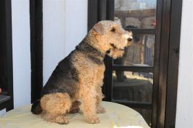 Foto 3 Airedale Terrier Welpen zu verkaufen