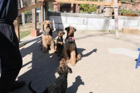 Foto 5 Airedale Terrier Welpen zu verkaufen