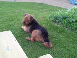 Airedale Terrier in besonders liebevolle H�nde abzugeben!!!
