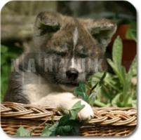 Foto 4 Akita Inu Warnschild Metall-Warnschild