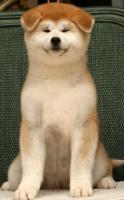 Foto 3 Akita Inu Welpen zu verkaufen
