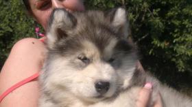 Foto 4 Alaskan Malamute Puppies