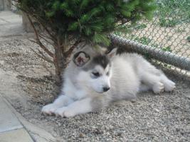 Foto 6 Alaskan Malamute Puppies