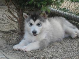 Foto 7 Alaskan Malamute Puppies