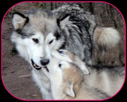 Foto 4 Alaskan Malamute Welpen