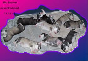Foto 3 Alaskan Malamutewelpen v.Zwinger animalforheart zum bezahlb.Preis