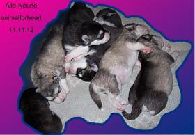 Foto 4 Alaskan Malamutewelpen v.Zwinger animalforheart zum bezahlb.Preis