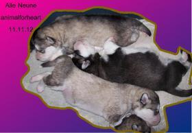 Foto 5 Alaskan Malamutewelpen v.Zwinger animalforheart zum bezahlb.Preis