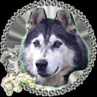 Foto 9 Alaskan Malamutewelpen v.Zwinger animalforheart zum bezahlb.Preis