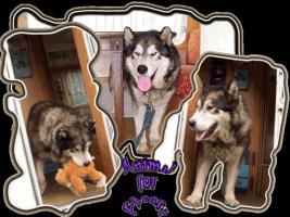 Foto 10 Alaskan Malamutewelpen v.Zwinger animalforheart zum bezahlb.Preis