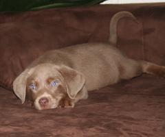 Foto 2 Alina, eine 14 Wochen junge Labrador h�ndin, Grunderzogen!
