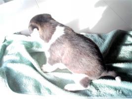 Foto 5 Alle guten Dinge sind 3.....reinrassige Siberian Husky Welpen.....warten auf Euch!!!