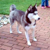 Foto 8 Alle guten Dinge sind 3.....reinrassige Siberian Husky Welpen.....warten auf Euch!!!