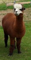 Foto 2 Alpaka Stuten zur  Verkauf