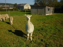 Foto 4 Alpaka für Zucht und Hobby