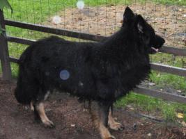 Foto 3 Altdeutsche Schäferhund Welpen