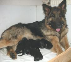 Altdeutsche Sch�ferhund Welpen