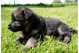 Altdeutsche Sch�ferhund Welpen abzugeben