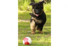 Foto 2 Altdeutsche Sch�ferhund Welpen abzugeben